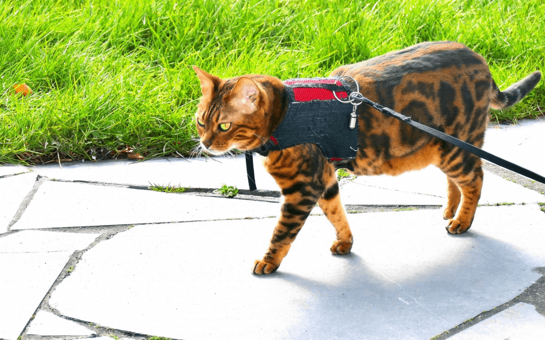 Best Harnesses for Cats