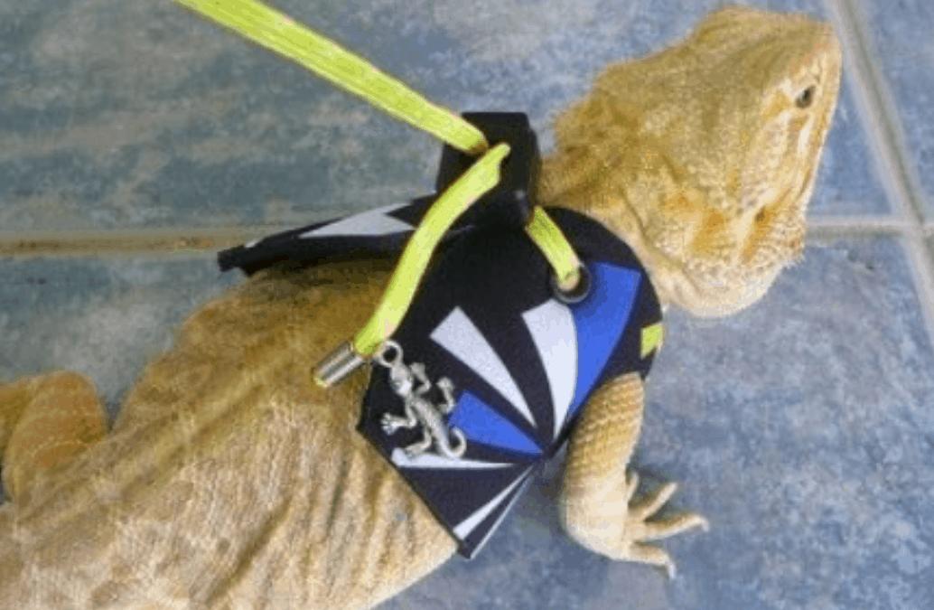 Can I Leash Train My Bearded Dragon?