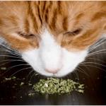 what is catnip?